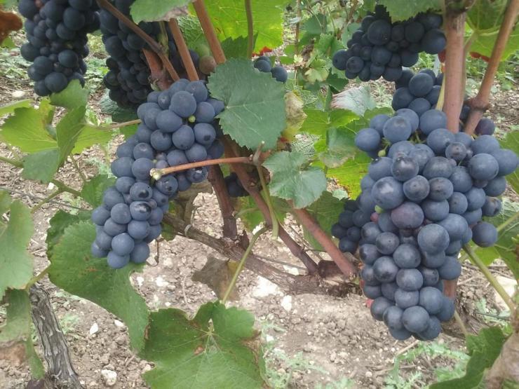 Nos raisins noirs